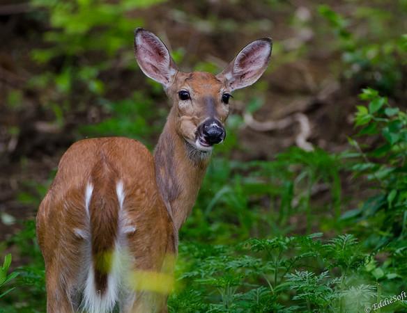 Deer in the Porcupines