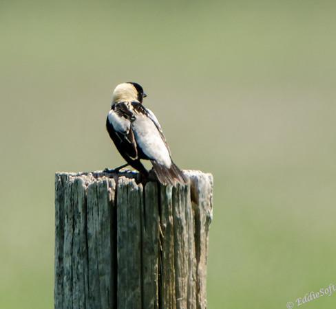 Bobolink shot at Lake Andes National Wildlife Refuge in South Dakota