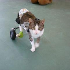 Wheelchair For Cats Oversized Wooden Chair Eddie S Wheels Pets The Pet Mobility Experts Nestor Cat Has Adapted Very Quickly To His New