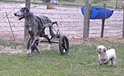 wheel chairs for dogs how to paint cane back eddie s wheels pets the pet mobility experts go