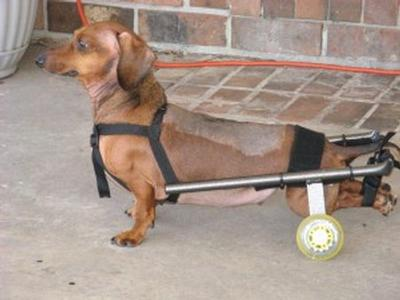 wheelchair dog drexel heritage chairs comparisons for dachshunds eddie s wheels pets