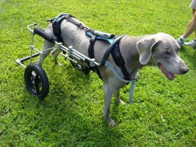 wheel chairs for dogs ikea upholstered chair helpemup harnesses the perfect adjunct to dog wheelchairs eddie s wheels pets pet mobility experts