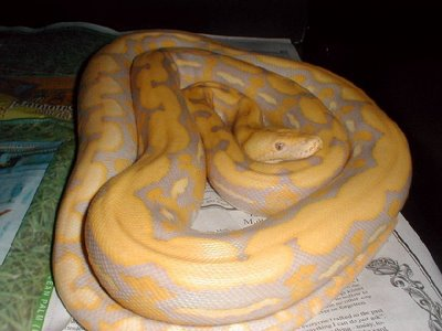 female_lav_albino_tiger-med