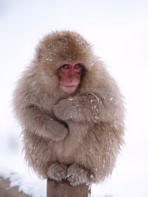 snow_macaque1