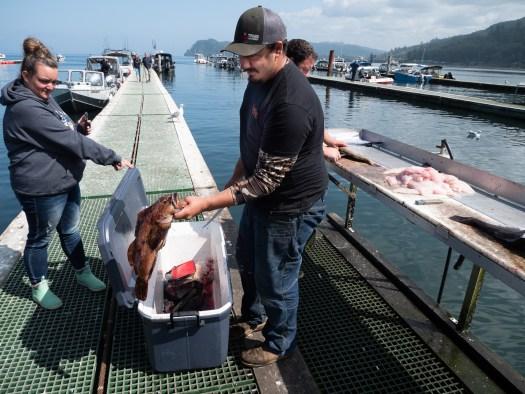 filleting freshly caught fish in the dock at Sekiu harbor
