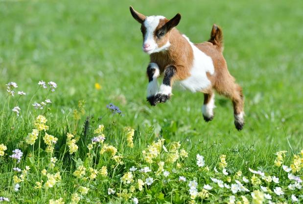Cute Goat Wallpaper Goats A Primer Eden Animal Farm