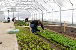 Students harvest greens from the solar high tunnel.