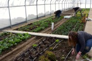 Students harvesting greens from solar high tunnel.