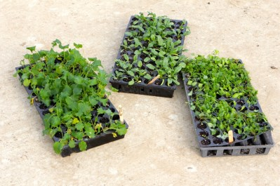 Trays of spinach, kale and claytonia ready for transplant.
