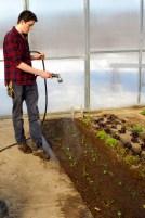 Matt waters recently transplanted kale.