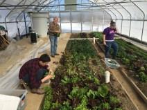 Melissa Nobbe, Matt Kelterborn, and Allen Matthews harvest greens in the solar high tunnel