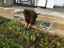 Amber Webb harvesting baby lettuce in the solar high tunnel