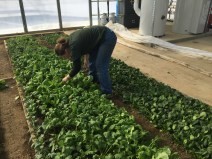 Steph Box harvesting radishes in the solar high tunnel