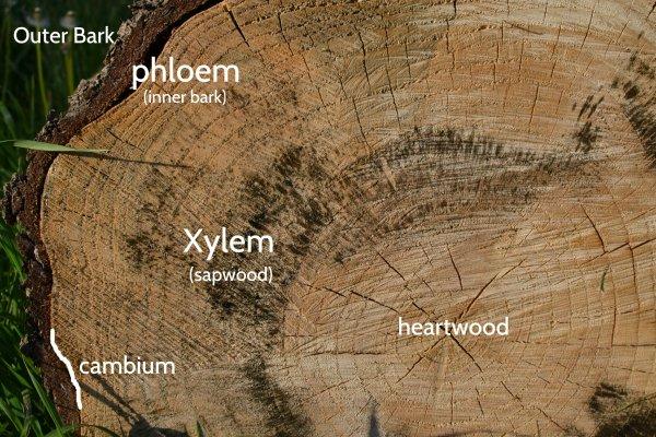 Xylem And Phloem Eden Hills