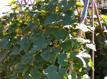 Cucumber vine on a frame trellis for support