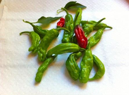 Green and red shishito peppers freshly picked from Shirley's Garden