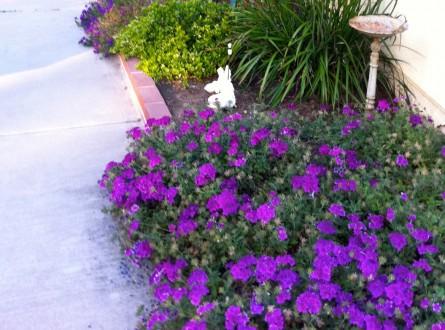 purple verbena ground cover