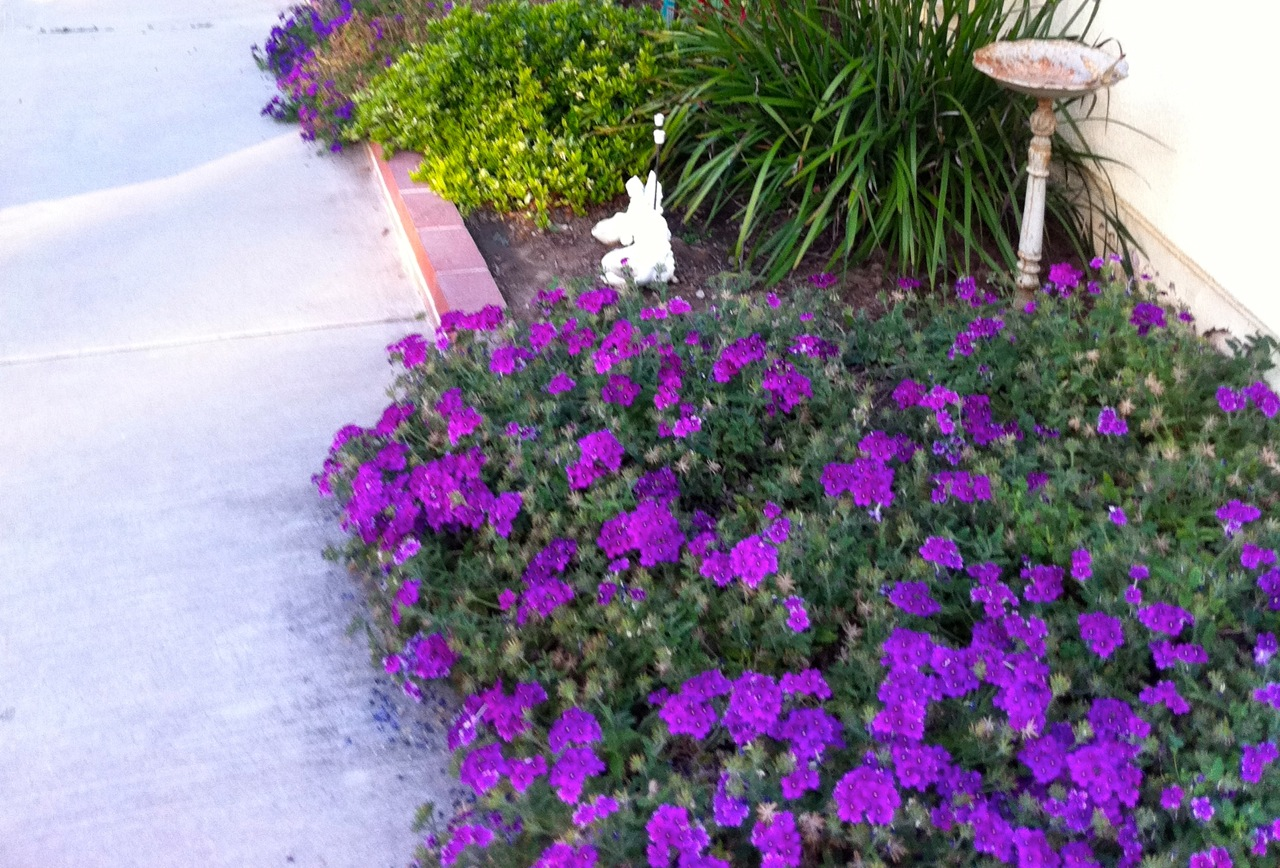 purple verbena ground cover | Eden Makers Blog by Shirley ...