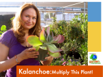 Kalanchoe video-how-to-multiply-this-plant-by-cuttings Shirley Bovshow