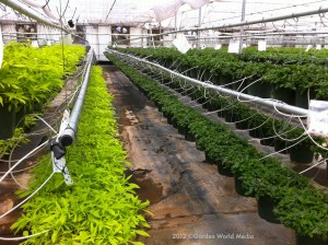 Research_and_Development_Plants_Proven_WInner_Plants_in_Hanging_Baskets