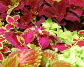 Sun-loving-coleus-plant-edenmakersblog