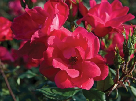 Closeup of red knock out rose