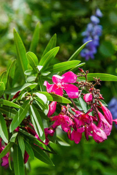 close-up-pink-oleander-flower-poisonous-plants-on-home-and-family-show-hallmark-channel-shirley-bovshow-garden-expert