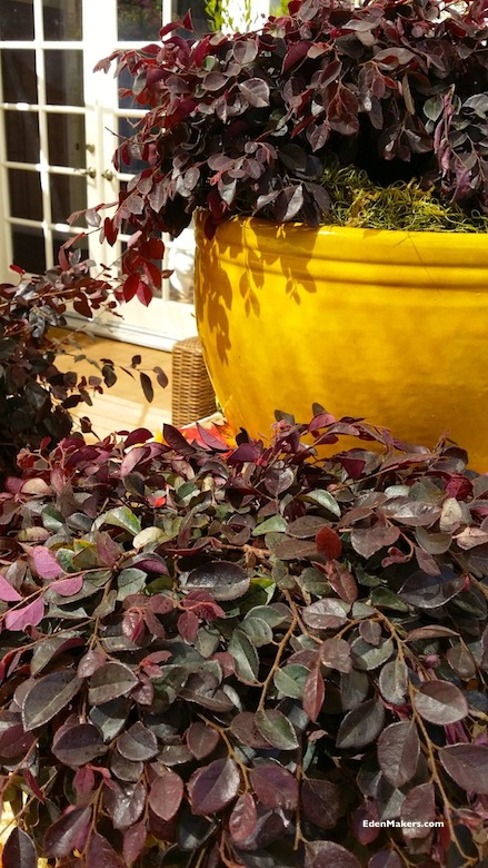loropetelum-crimson-fire-fringe-flower-fall-foliage-container-plant-shirley-bovshow-garden-expert-edenmakers