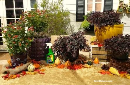 plants-fall-containers-hypericum-red-fame-crimson-fire-fringe-flower-loropetelum-ochre-pots-wilt-pruf-shirley-bovshow-garden-designer-edenmakers