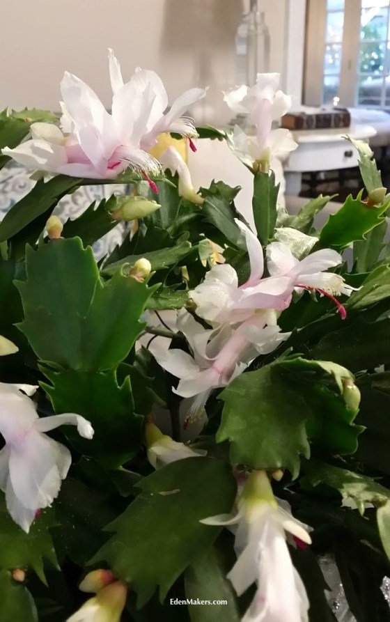 white-christmas-cactus-flower-shirley-bovshow-designer-home-and-family-show-holiday-special-hallmark-edenmakers-blog