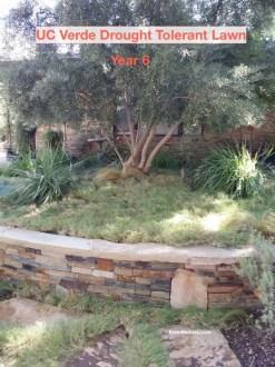 uc-verde-drought-tolerant-lawn-6th-year-shirley-bovshow-landscape-designer-los-angeles-edenmakers-blog