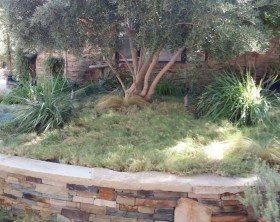 uc-verde-drought-tolerant-lawn-6th-year-shirley-bovshow-landscape-designer-los-angeles-edenmakers-blog