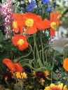 Orange poppies, daisies growing in a California wildflower garden designed by Shirley Bovshow of EdenMakers