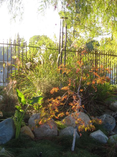 Japanese maple tree and ornamental grasses backlit by the sun