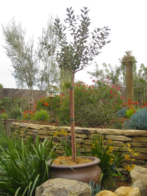 potted fruit trees for small yards