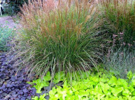 ornamental grass and sweet potato