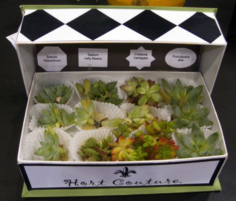assortment of succulent cuttings place in a stylish black and white chocolate box from Hort Couture