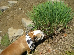 dog eating lemongrass plant