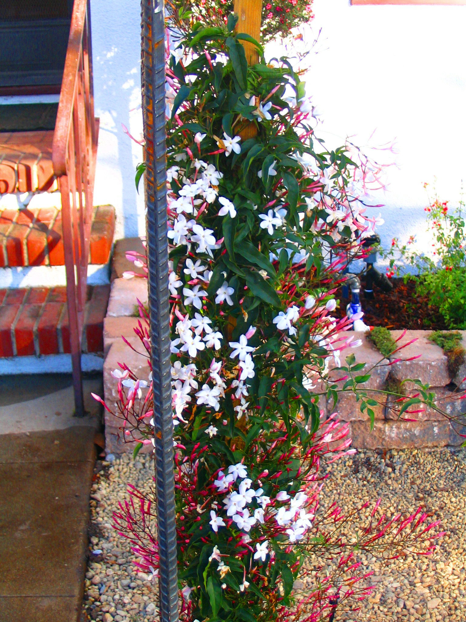 Pink Jasmine Vine Climbs Up A Metal Arbor Eden Makers Blog By