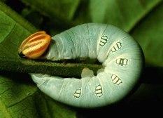 caterpillar15