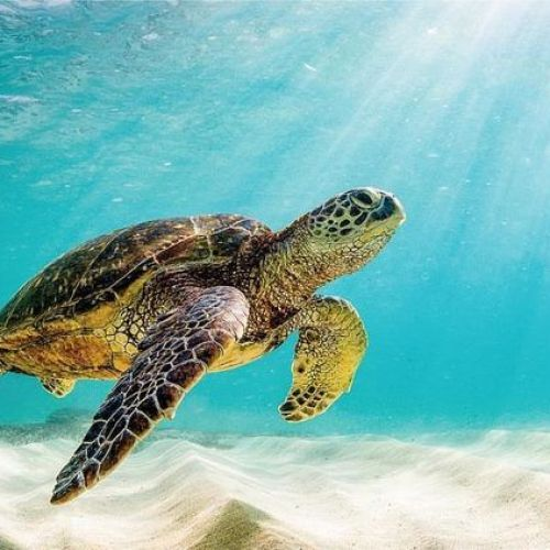 Tortues marines aux Maldives