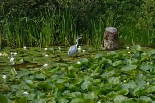"""Grey heron pescando entre los lirios. Los """"Lily ponds"""" son los más populares entre los lagos del """"Estate""""."""