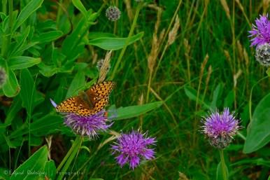 Esta mariposa de la familia Nymphalidae (mi preferida), es muy común en el Reino Unido, el resto de Europa y Norte de África. Pero no por común deja de ser muy vistosa.