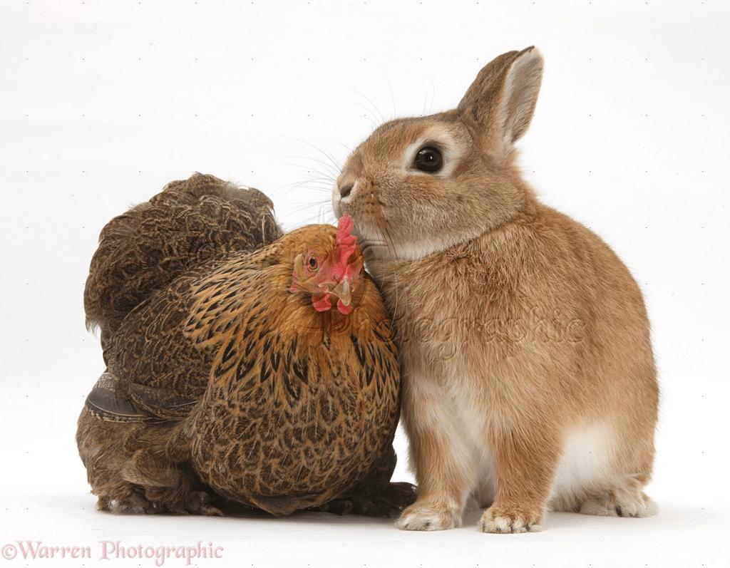 4 H Chicken Chat Amp Rabbit Show