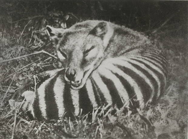 """Undated photograph of a thylacine, or """"Tasmanian Tiger."""" The last thylacine died in captivity in the mid-1930s. Image courtesy of the Tasmanian Archive and Heritage Office, PH30-1-9210."""
