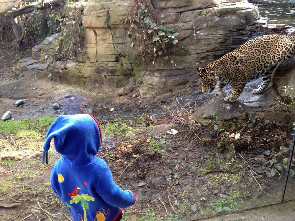 Helena visits the Jaguar. Woodland Park Zoo, Seattle. Photo by Jesse Oak Taylor.