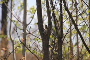 American Redstart female nesting on private forestland in Oneida County, Wisconsin