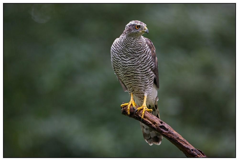"""Northern Goshawk (male) - Havik (man) (Accipiter gentilis),"" by Flickr user Martha de Jong-Lantink, CC BY-NC-ND 2.0."
