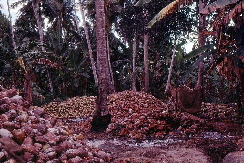 Coconuts at harvest time.