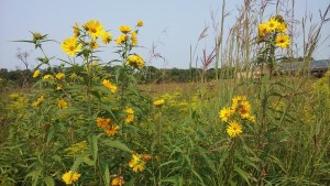 The Urban Buzz: Pollinator Protection in Madison, Wisconsin